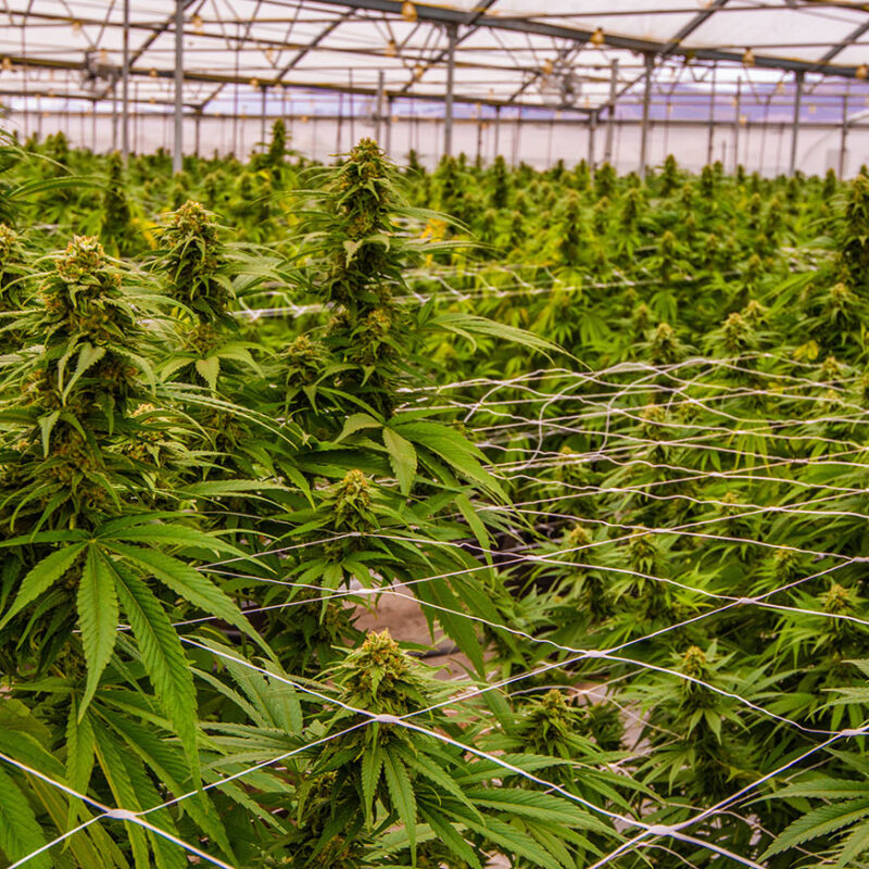 Confidential Cannabis Client - Image is for illustrative purposes only.