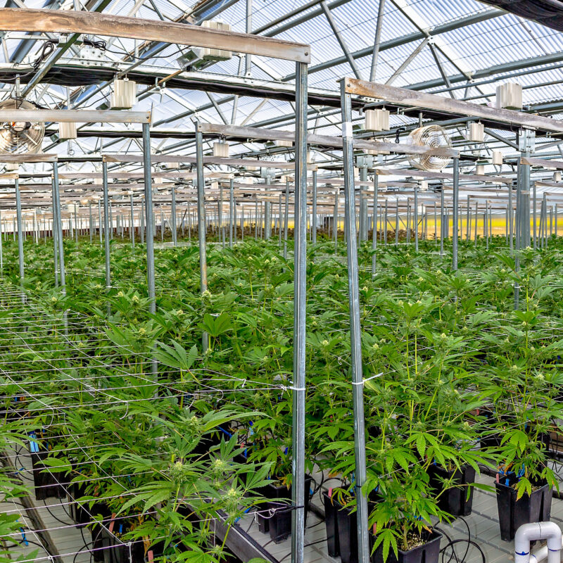 ARCO Confidential Cannabis Client - Image is for illustrative purposes only.
